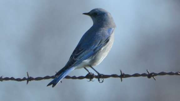 Mountain bluebird on barbed wire